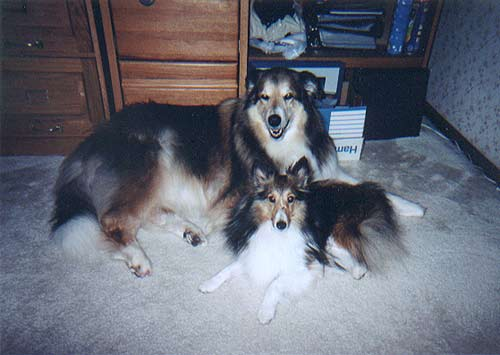 Buddy & Lucas our four year old Sheltie