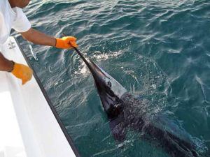 110 lb. Striped Marlin fished in Cabo on 10/05/16