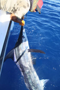 STRIPED MARLIN fished in Cabo on 11/17/16