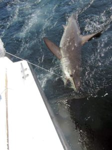 Hammerhead Shark fished in Cabo San Lucas on 6/17/17