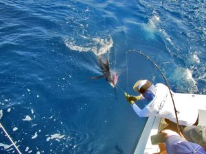 Blue Marlin fished in Cabo San Lucas on 9/30/17