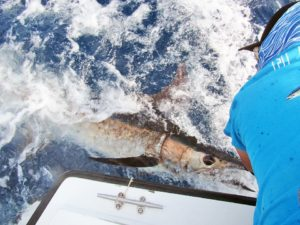 Blue Marlin fished in Cabo San Lucas on 8/03/18