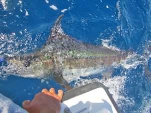 Blue Marlin fished in Cabo San Lucas on 10/15/18