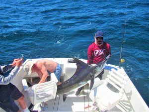 Catch & release 130 lb Striped Marlin in Cabo San Lucas on 4/17/2021